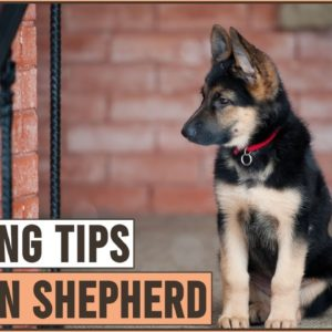 Best German Shepherd Puppy Training Tips | Dog World