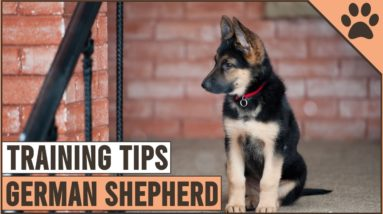 Best German Shepherd Puppy Training Tips | Dog World