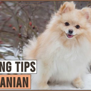 How To Train A Pomeranian | Dog World