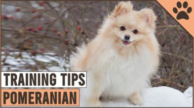 How To Train A Pomeranian | Dog World