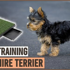 Secret Tips On How To Potty Train A Yorkshire Terrier | Dog World