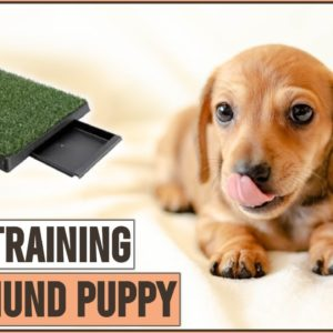How To Potty Train A Dachshund Puppy | Dog World