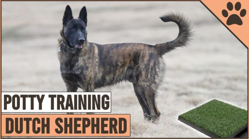 How To Potty Train A Dutch Shepherd | Dog World