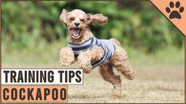 How To Train A Cockapoo