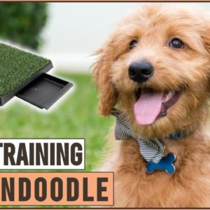 Secret Tips On How To Potty Train A Goldendoodle A Puppy | Dog World