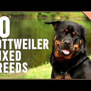 10 Rottweiler Mix Breeds | Dog World