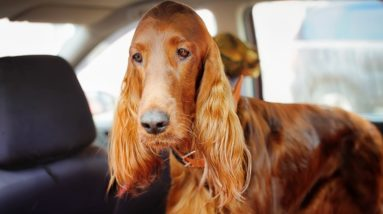Home Remedies for Dog Car Sickness