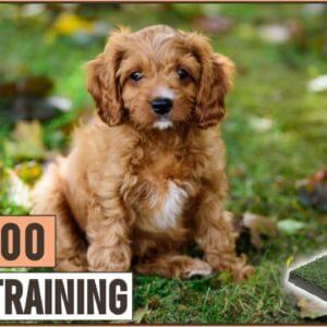 How To Potty Train A Cavapoo Puppy | Dog World