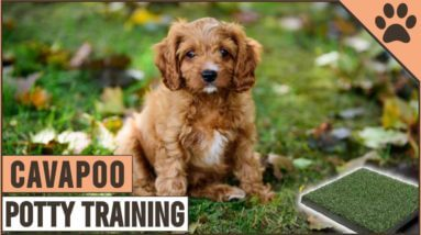 How To Potty Train A Cavapoo Puppy | Dog World