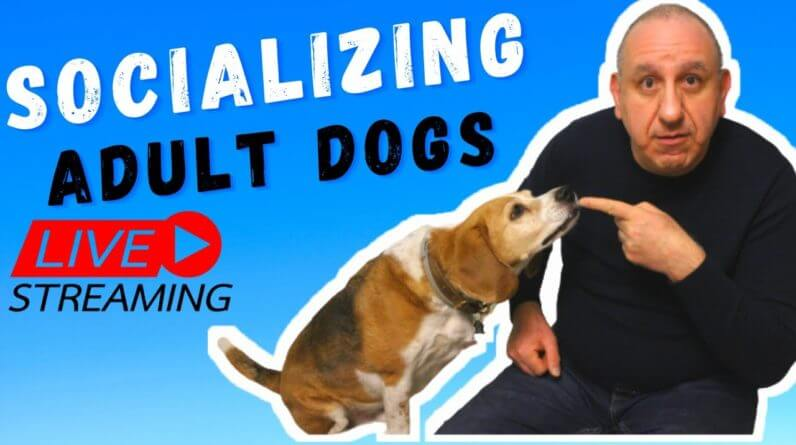 How to socialize your ADULT dog