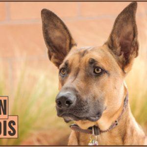 Belgian Malinois - Dog Breed Information | Dog World