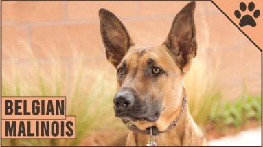 Belgian Malinois - Dog Breed Information   Dog World