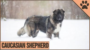 Caucasian Shepherd - Dog Breed Information | Dog World