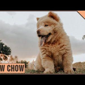 Chow Chow Dog Breed Information | Dog World