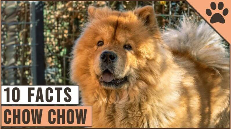 Chow Chow - Top 10 Facts | Dog World