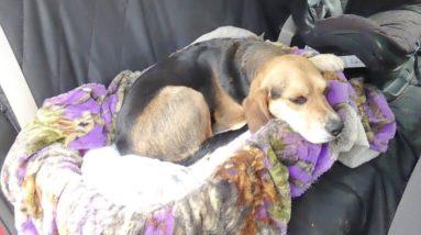 DIY Dog Car Seat: How To Make One