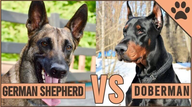German Shepherd vs Doberman Comparison | Dog World