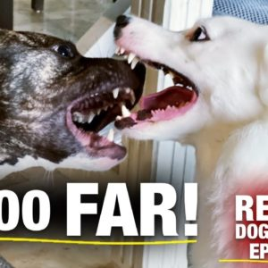 What I Do When This Pit Bull Gets Too Rough With My Dog [Reality Dog Training Ep. 6]