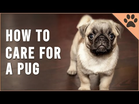 How To Care For A Pug | Dog World