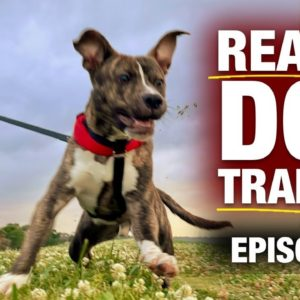 This Dog's Leash Pulling is NO JOKE! [Reality Dog Training: George the Pit Bull Ep. 3]
