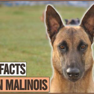 Belgian Malinoi - Top 10 Facts | Dog World