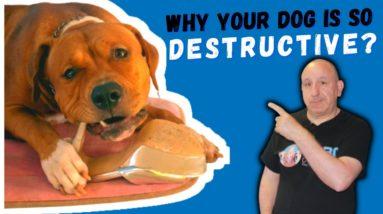 Dog Being Destructive Even After Exercise