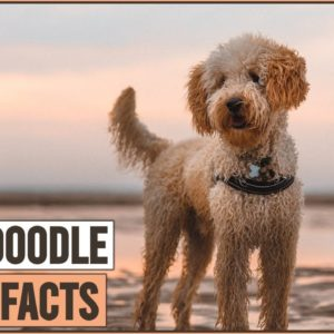 Labradoodle Dog Breed - Top 10 Facts | Dog World
