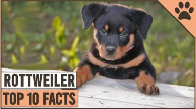Rottweiler Dog Breed - Top 10 Facts | Dog World
