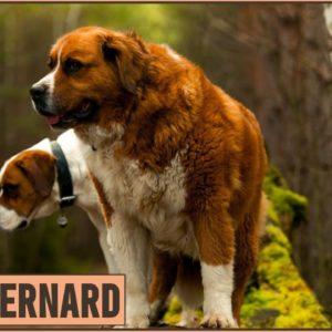 Saint Bernard Dog Breed Information | Dog Breed
