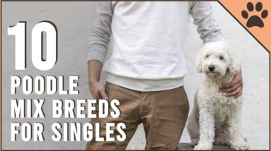 Top 10 Poodle Mix Breeds for Singles | Dog World