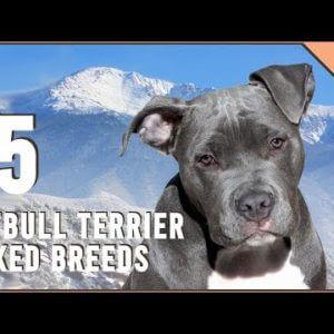 Top 15 Pitbull Terrier Mix Breeds | Dog World