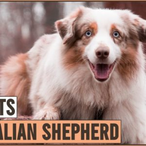Australian Shepherd - Top 10 Facts | Dog World
