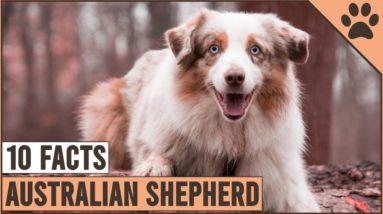 Australian Shepherd - Top 10 Facts   Dog World