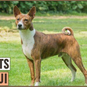 Basenji Dog Breed - Top 10 Facts | Dog World