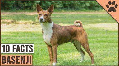 Basenji Dog Breed - Top 10 Facts   Dog World