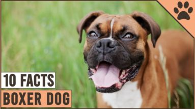 Boxer Dog Breed - Top 10 Facts   Dog World