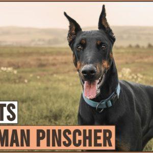 Doberman Pinscher - Top 10 Facts | Dog World