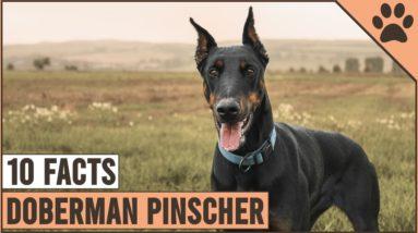 Doberman Pinscher - Top 10 Facts   Dog World