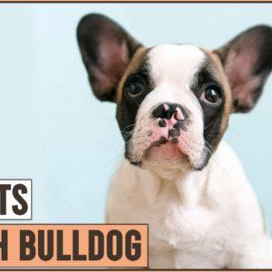 French Bulldog - Top 10 Facts | Dog World