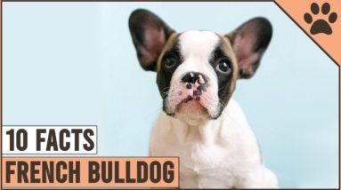 French Bulldog - Top 10 Facts   Dog World