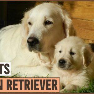 Golden Retriever - Top 10 Facts | Dog World