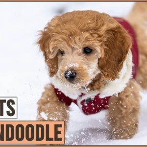 Goldendoodle - Top 10 Facts | Dog World