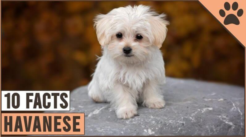 Havanese Dog Breed - Top 10 Facts | Dog World