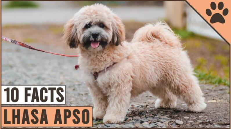 Lhasa Apso Dog Breed - Top 10 Facts