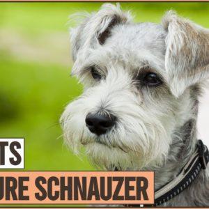 Miniature Schnauzer Dog Breed - Top 10 Facts | Dog World