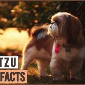 Shih Tzu Dog Breed - Top 10 Facts | Dog World