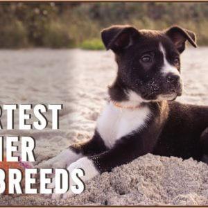 Top 10 Smartest Terrier Dog Breeds | Dog World