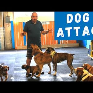 Why My Dog Gets ATTACKED or ATTACKS Other Dogs?
