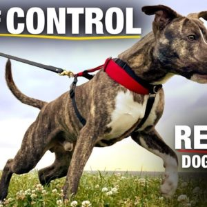 How I'm Training This Pit Bull to be Good On Leash. And OFF Leash Too! [Reality Dog Training EP 16]