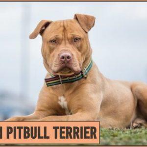 American Pitbull Terrier - Dog Breed Information | Dog World